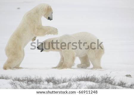 Fight of polar bears. Two polar bears fight. Snow tundra with undersized vegetation. - stock photo