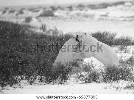 Fight of polar bears.3.  Two polar bears fight. Tundra with undersized vegetation. Snow.