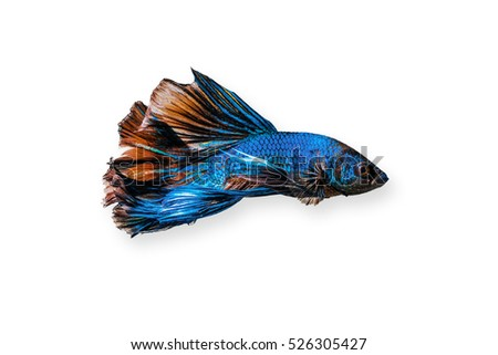Fighter fish siamese pet white background pretty colourful tropical iridescent scales
