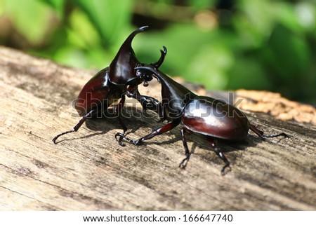 fighting beetle (rhinoceros beetle) - stock photo