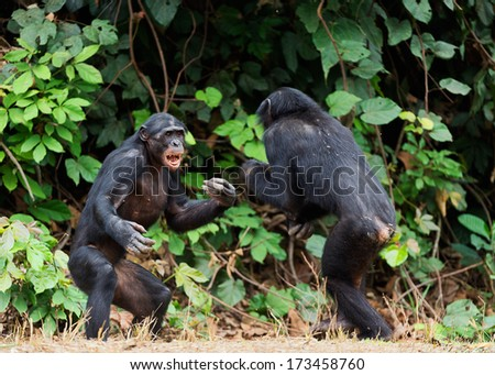 Fighting Bonobos ( Pan paniscus). At a short distance, close up. The Bonobo ( Pan paniscus), called the pygmy chimpanzee. Democratic Republic of Congo. Africa    - stock photo