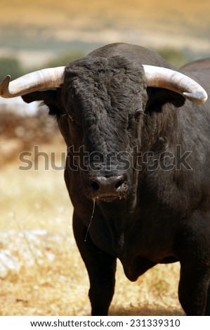 Fighting bull in the countryside. Spain. Vertical format - stock photo