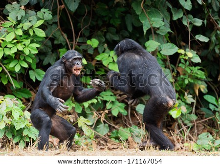 Fighting  Chimpanzee bonobo ( Pan paniscus).  Democratic Republic of Congo. Africa - stock photo