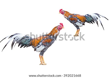 Fighting cock on white background.