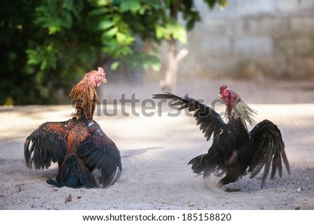 Fighting cocks in a vicious attack, traditional east asian culture. - stock photo