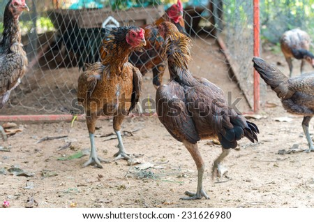 Fighting cocks in progress - stock photo