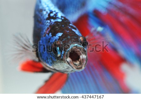 fighting fish - betta fish