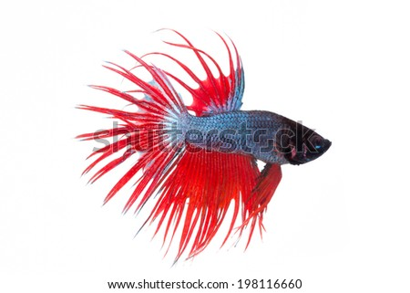 fighting fish , betta splenden, siamese fighting fish  isolated on white - stock photo