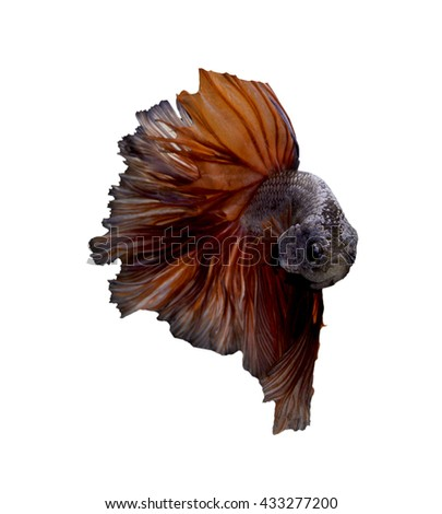 Fighting fish or red orange and blue betta fish of siamese fighting fish on white background
