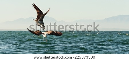 Fighting kelp gulls (Larus dominicanus), also known as the Dominican gul and Black Backed Kelp Gull. False Bay, South Africa   - stock photo
