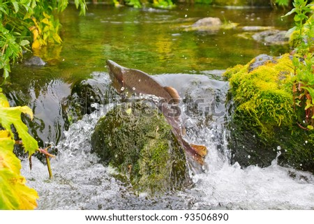 Fighting males of humpback salmon fish, river headwaters - stock photo