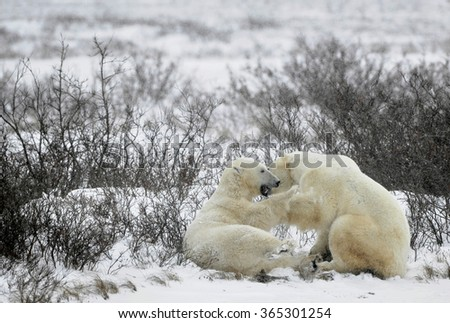 Fighting Polar bears (Ursus maritimus ) on the snow. Arctic tundra. - stock photo