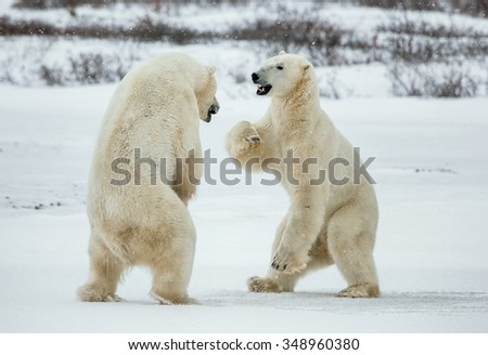 Fighting Polar bears (Ursus maritimus ) on the snow.\ Arctic tundra. Two polar bears play fighting. Polar bears fighting on snow have got up on hinder legs.  - stock photo