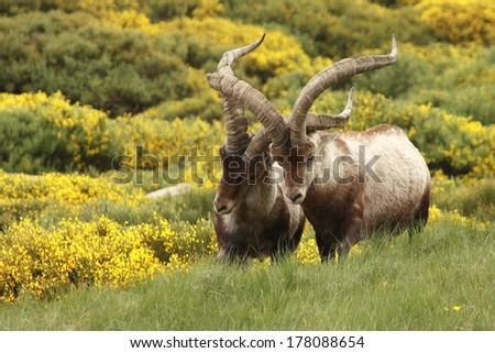 fighting wild goats - stock photo