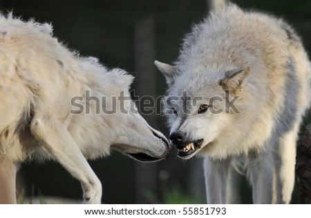 Fighting wolves - stock photo