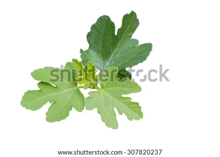 figs tree isolated on white background with clipping paths inside