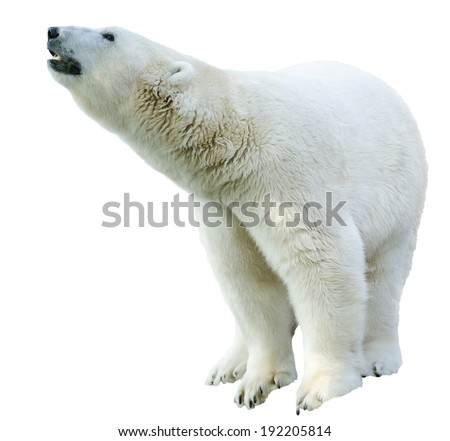 Figure of a polar bear. Isolation on white background - stock photo