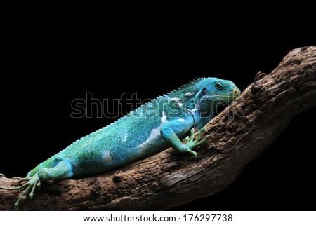 Fiji Crested Iguana resting on a log - Brachylophus vitiensis - stock photo
