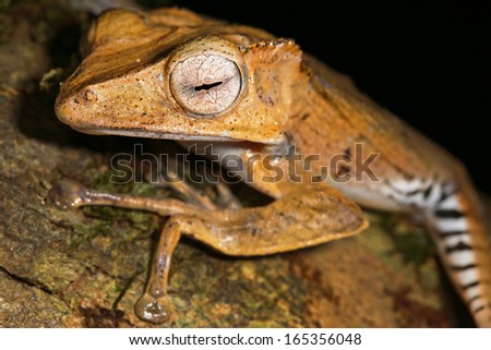 File-eared Frog (Polypedates otilophus) in the jungles of Borneo. This species has a bony ridge ('file') running along the side of the head behind each eye. AKA Borneo Eared or Bony-headed Flying Frog - stock photo