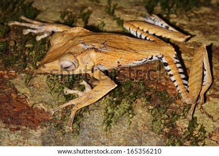 File-eared Frog (Polypedates otilophus) in the jungles of Borneo. This species has a bony ridge ('file') running along the side of the head behind each eye. AKA Borneo Eared or Bony-headed Flying Frog