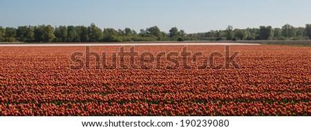 Filed of orange tulips - stock photo