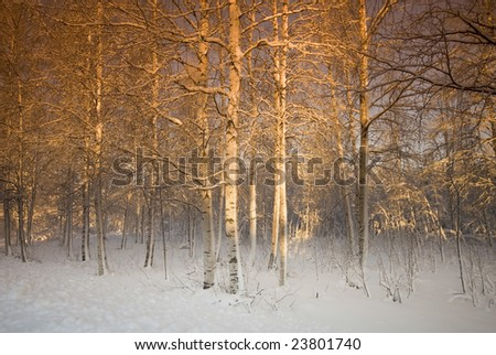 Filtered trees in the north of sweden - stock photo