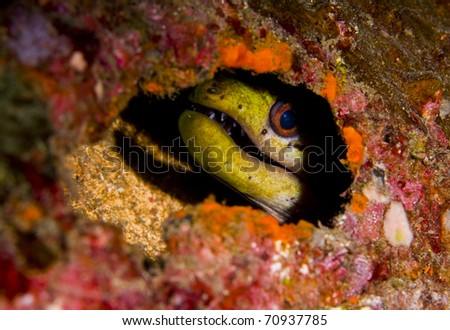 Fimbriated moray eel (Gymnothorax fimbriatus) peering out of a hole in an artificial reef with a shadow behind. Taken in Bali, Indonesia.