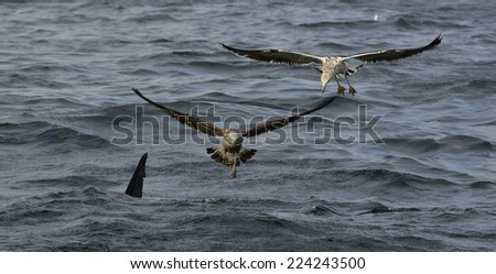 Fin of a white shark and Seagulls eat oddments from prey of a Great white shark (Carcharodon carcharias)   - stock photo