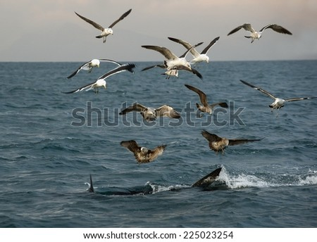 Fin of a white shark and Seagulls eat oddments from prey of a Great white shark (Carcharodon carcharias)