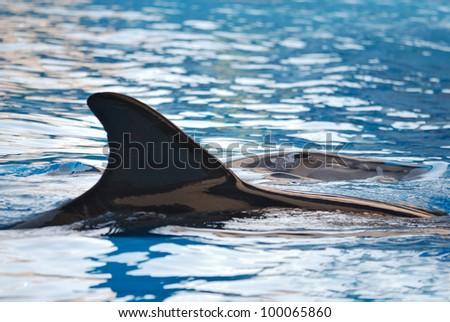 fin of dolphin in aquarium. Closeup - stock photo