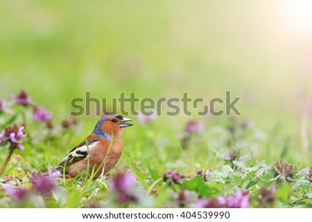 Finch among the spring flowers, spring singing birds, green grass, wildlife with sunny hotspot - stock photo