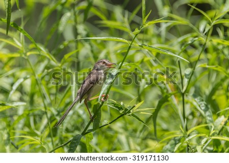 Finch is a small bird Orthotomus currency. From mouth to tail length of 12 cm together some small mouth, long legs taper. - stock photo