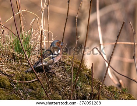 Finch wanders through the grass in search of seeds. Finch looks around, that there was no danger. - stock photo