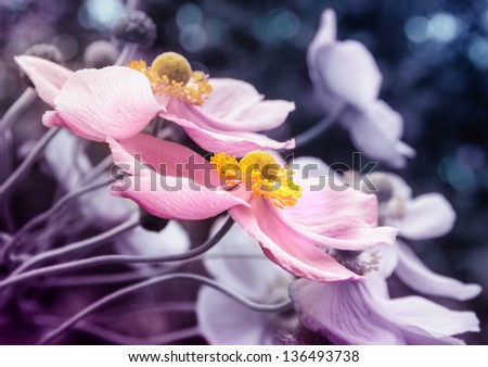 fine art photography of japanese anemone flowers in pink, blue and purple tones - stock photo