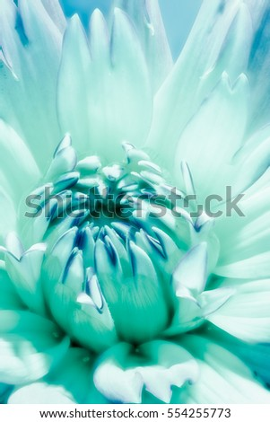 Fine art still life floral surreal macro flower portrait of a single isolated blooming flowering turquoise dahlia blossom on a sunny day taken in summer or spring