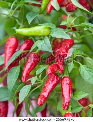 Fine grown chili pepper plant - stock photo