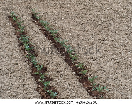 Fine tilth, tomatoes planted. Garden, allotment in spring. - stock photo
