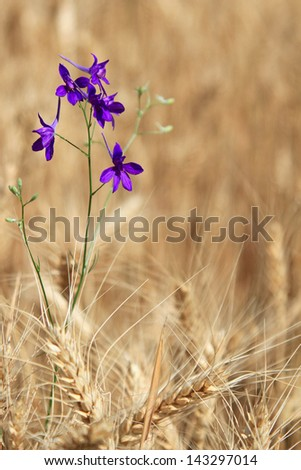 Fine violet flower among the ripened cones of wheat - stock photo
