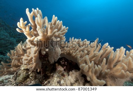 Finger leather coral in the Red Sea. - stock photo