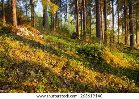 Finnish forest at sunset light - stock photo
