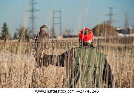 Finnish goshawk before the hunt. Bird of prey sitting on the falconer's glove. - stock photo