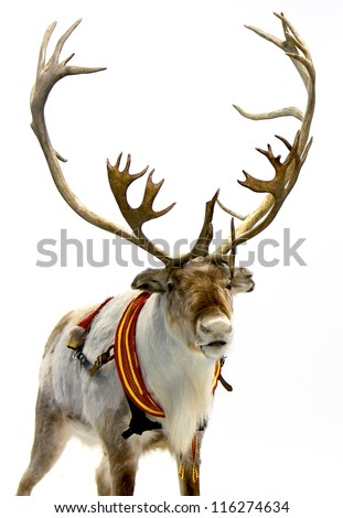 Finnish reindeer wearing traditional harness. Isolated on white background - stock photo