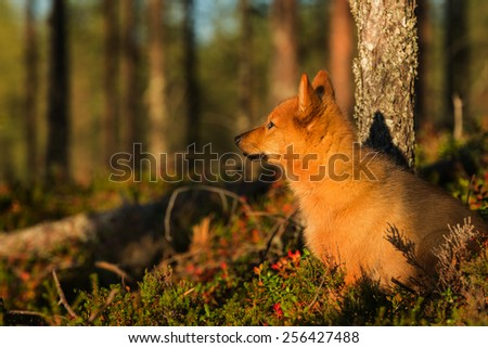 Finnish Spitz in the afternoon light - stock photo