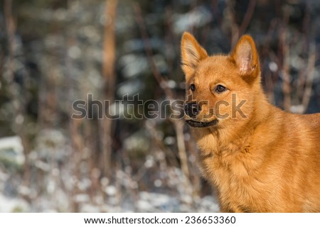 Finnish Spitz puppy listening the sounds of autumn forest