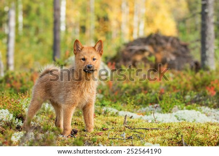 Finnish Spitz 10-week-old puppy explores the world - stock photo
