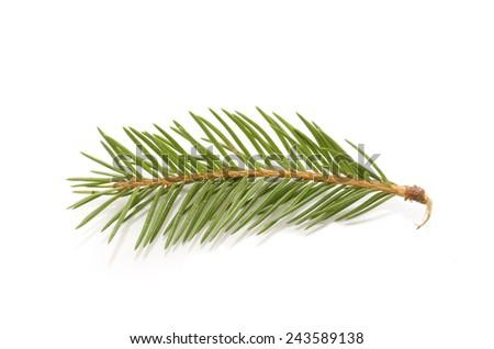 fir branch - stock photo