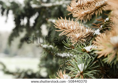 Fir branch, covered by snow in autumn