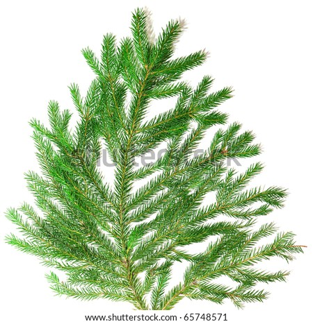 fir branch isolate on white background