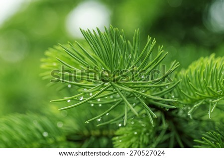 fir branch with drops of morning dew on the needles closeup - stock photo
