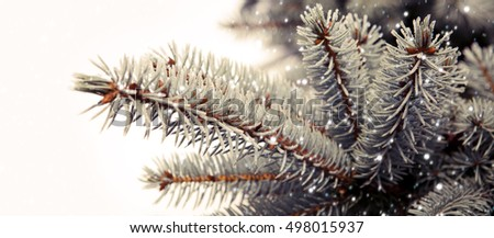 Fir branches covered with hoar frost .